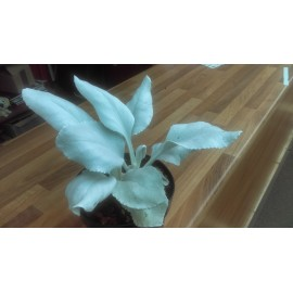 Seneico candicans `Angels Wings`