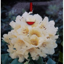 Rhododendron Eherngold